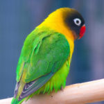 Masked_Lovebird_(Agapornis_personata)_-Auckland_Zoo